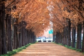Damyang Metasequoia Tree Road