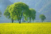 Mustard Flowers of Chinsu Park