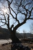 Hanti Village's Zelkova Trees