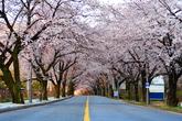 Cherry Blossom in Sokcho