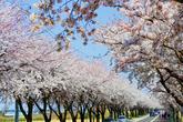 양양 벚꽃