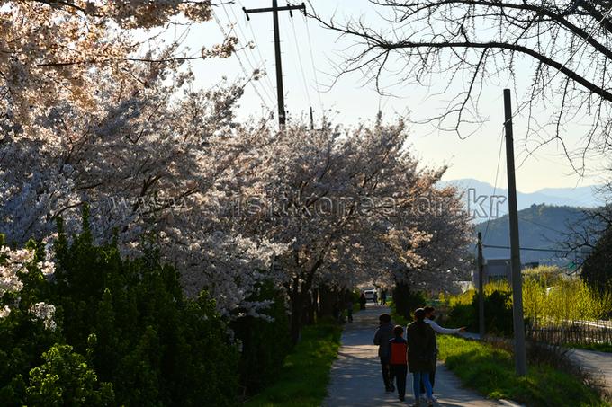 동해 벚꽃