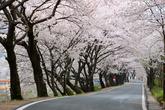 화개십리벚꽃길