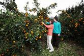 Orange Plantat..