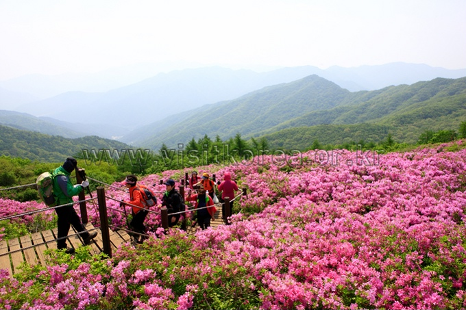Royal azalea on Mt.Jirisan