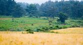 Ora-dong Green Barley