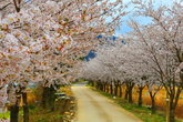 Cherry Blossom in Pyeongchang
