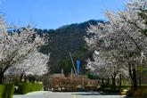 홍천 벚꽃