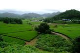 Kangjin Dawon, Tea Plantation, Tea Farm