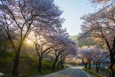 제천 청풍호 벚꽃축제