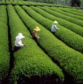 Tea Farm 