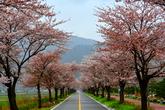 정선 벚꽃
