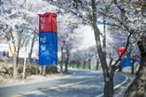 2019 Jecheon Cheongpungho Cherry Blossom Festival