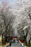 화천 벚꽃