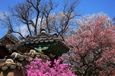 Red Plum Blossoms of Changdeokgung Palace