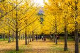 Hongcheon Ginkgo Forest