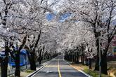 Cherry Blossom in Chuncheon