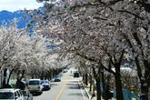 인제 벚꽃