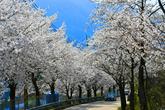춘천 벚꽃