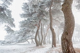 Snowy Pine Forest