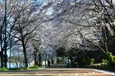 속초 벚꽃