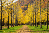 Hongcheon Ginkgo Grove