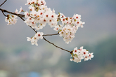 Hwagae 4km Cherry Blossom Road