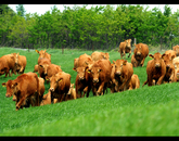 Cattles in the Meadows