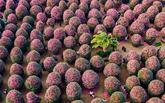 Camellia Chocolate Mushrooms
