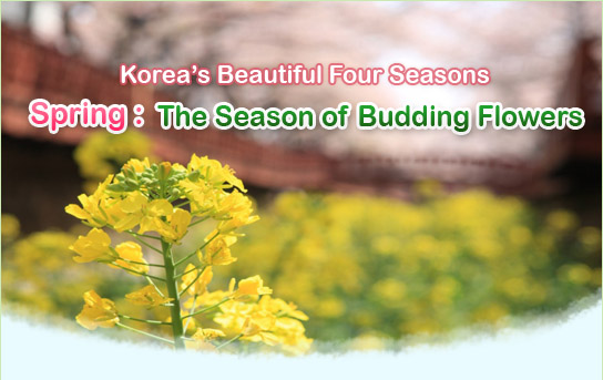 Official site of korea tourism org spring season of budding flowers spring the season of budding flowers mightylinksfo