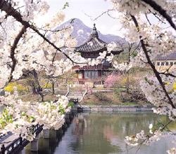 Full of Cherry Blossoms at Gyeongbokgung Palace
