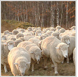 Daegwallyeong Sheep Farm
