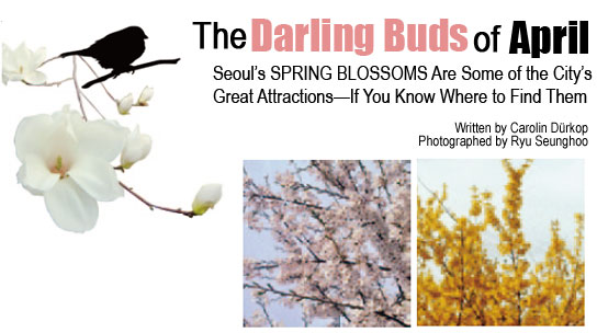 The Darling Buds of April Seoul's SPRING BLOSSOMS Are Some of the City's Great Attractions—If You Know Where to Find Them