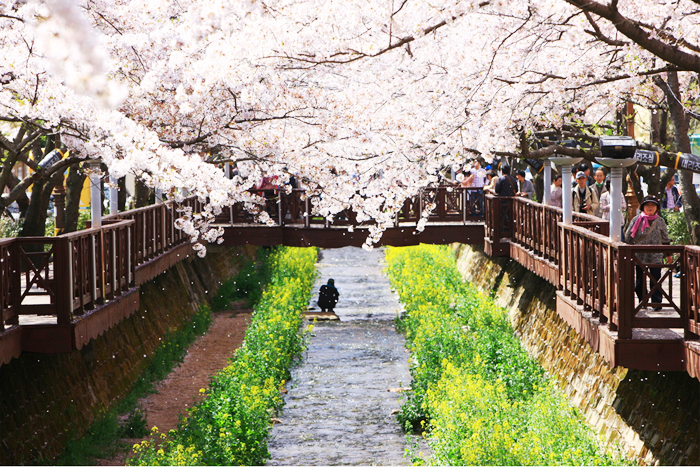 Yeojwacheon Stream Cherry Blossom Road landscape photography