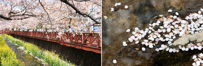 Yeojwacheon Stream-related photos. The cherry blossoms in full swing over the Yeojwacheon Stream on the left is a picture of a cherry tree on the right is a peer leaves the river and goes by photography.
