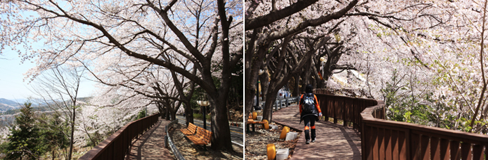 The cherry blossoms in full swing on the Hill on the left is Anmin pins Marina landscape photo on the right is a photo of a person is walking down the Hill promenade Anmin