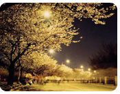 Yunjungno Cherry Blossom Tunnel