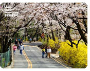 Mt. Namsan's Cherry Blossoms and Forsythias