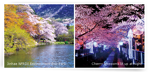 Jinhae NFRDI Environment Eco-Park/Cherry blossoms lit up at night