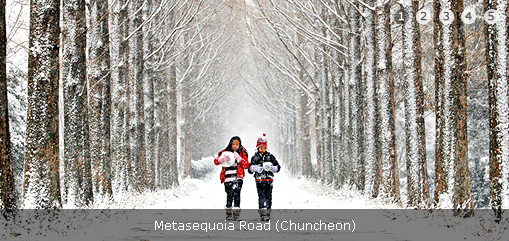 Metasequoia Road (Chuncheon)