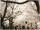 Festival des Fleurs de Cerisier de Jeju