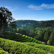 Korea's major green tea event, Boseong Green Tea Festival to start on May 3!