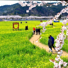 Enjoy Spring Blossom Tour in Korea