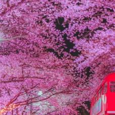 Daegu E-world Starlight Cherry Blossom Festival Opens March 24