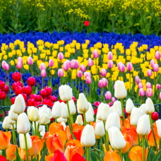 Enjoy the Spring Season with Tulip Festivals!