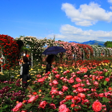 Scent of Roses Fills Gokseong International Rose Festival