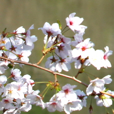 Cherry Blossoms Expected to Bloom 7 Days Early