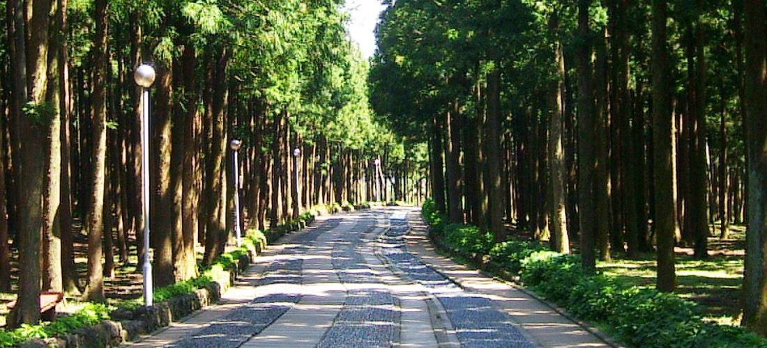 넓고 평탄한 산책로 좌우로 빽빽하게 심어진 삼나무들