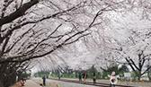 봄꽃을 즐기는 최고의 방법! 2014 봄꽃 축제 지도 사진