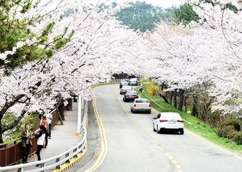 Прогулочная дорожка Тальмачжи-киль во время пышного цветения вишни (Источник: Администрация округа Хэундэ-гу)